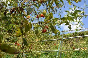 「茨木駅前マルシェ」茨木市忍頂寺河野さんのトマト畑